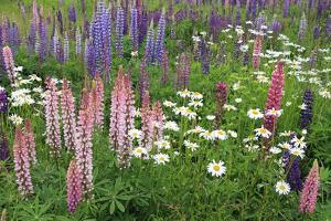 Field of Wild Lupines, Tacoma, Washington State, United States of America, North America by Richard Cummins