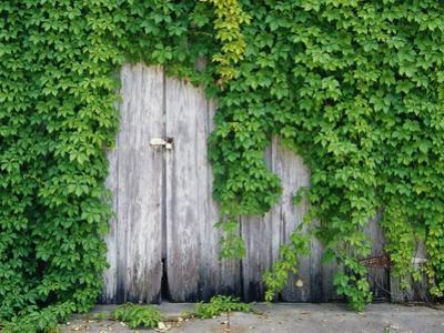 Ivy Covered Barn Door by Richard Cummins