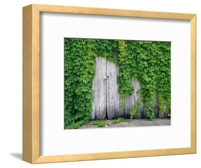 Ivy Covered Barn Door