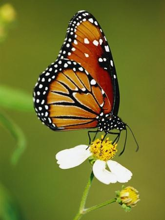 Monarch Butterfly on Flower by Richard Cummins