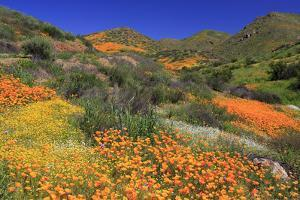 Poppies and Goldfields, Chino Hills State Park, California, United States of America, North America by Richard Cummins