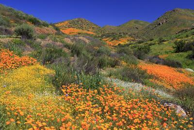 Poppies and Goldfields, Chino Hills State Park, California, United States of America, North America