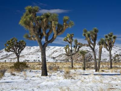 Rare Winter Snowfall, Lost Horse Valley, Joshua Tree National Park, California, USA by Richard Cummins