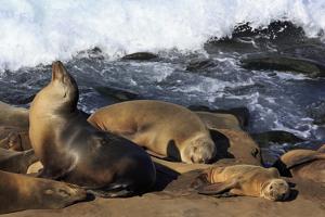 Sea lions, La Jolla, San Diego, California, United States of America, North America by Richard Cummins