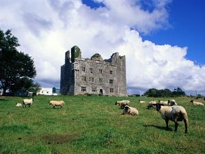 Sheep Grazing near Leamaneagh Castle by Richard Cummins