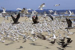 Terns and Seagulls by Richard Cummins
