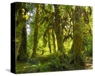Hoh Rain Forest IV