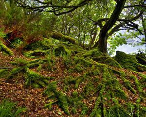 Killarney Moss Roots, Ireland by Richard Desmarais