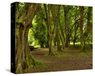 Killarney Yew Trees, Ireland