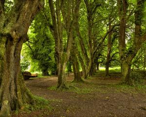 Killarney Yew Trees, Ireland by Richard Desmarais