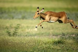 A Leaping Impala by Richard Du Toit