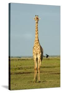 A Male Giraffe by Richard Du Toit