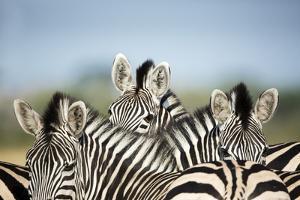 A Trio of Zebras by Richard Du Toit