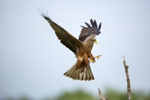 A Yellowbilled Kite Lands by Richard Du Toit
