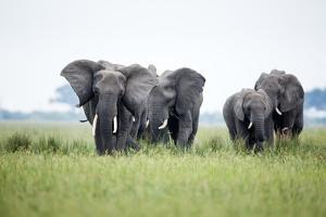 An Elephant Herd in Grassland by Richard Du Toit
