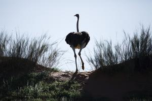 An Ostrich Crests a Dune by Richard Du Toit