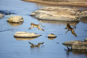 Baboons Jumpi over River by Richard Du Toit
