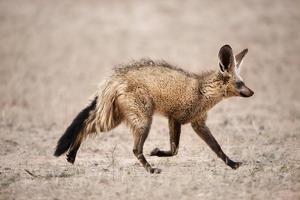 Bat-Eared Fox Running by Richard Du Toit