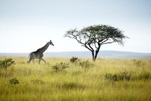Giraffe and Acacia Tree by Richard Du Toit