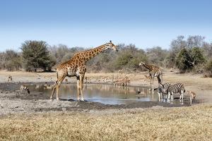 Giraffe and Zebra at Waterhole by Richard Du Toit