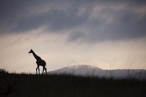 Giraffe at Dawn by Richard Du Toit