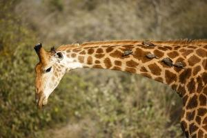 Giraffe with Oxpeckers by Richard Du Toit