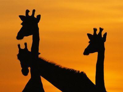 Giraffes, Silhouetted of Heads and Necks at Dawn, Botswana Savute-Chobe National Park