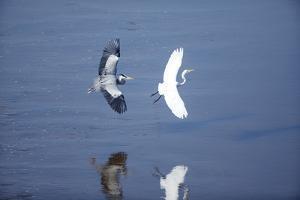 Heron Chasing Egret, South Africa by Richard Du Toit