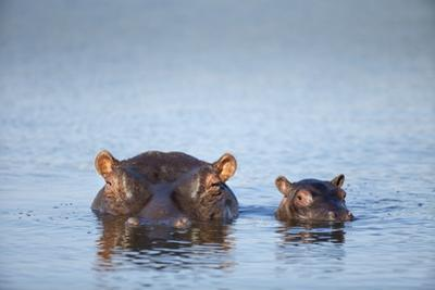 Hippo Cow and Calf, South Africa by Richard Du Toit