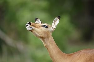 Impala Ewe Calling by Richard Du Toit