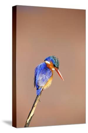 Malachite Kingfisher, South Africa