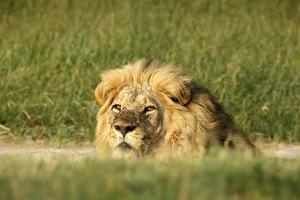 Male Lion Portrai by Richard Du Toit
