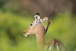 Redbilled Oxpecker on an Impala by Richard Du Toit