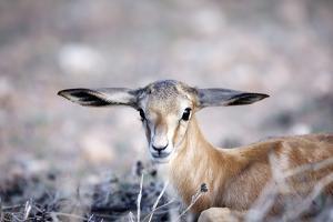 Springbok Baby by Richard Du Toit