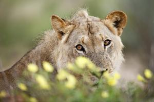 Subadult Male Lion by Richard Du Toit