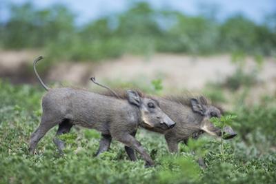 Warthog Piglets, Botswana