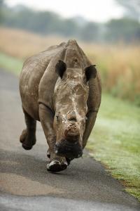White Rhino Cow Charging by Richard Du Toit