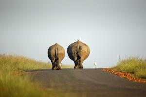 White Rhinos Walking on Road, Rietvlei Nature Reserve by Richard Du Toit