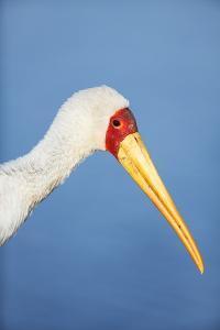 Yellowbilled Stork Portrait by Richard Du Toit