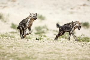 Young Spotted Hyenas by Richard Du Toit
