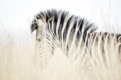 Zebra Walking in Tall Grass by Richard Du Toit