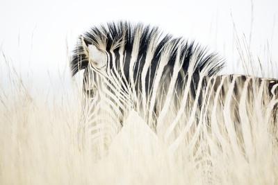 Zebra Walking in Tall Grass