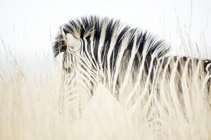 Zebra Walking in Tall Grass by Richard Du Toit