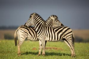 Zebras Allogrooming by Richard Du Toit