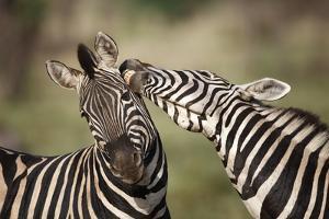 Zebras, South Africa by Richard Du Toit
