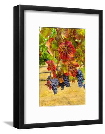 Cabernet Sauvignon Grapes in Columbia Valley, Washington, USA