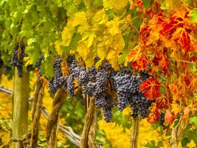 Cabernet Sauvignon Grapes Ready for Harvest, Washington, USA by Richard Duval