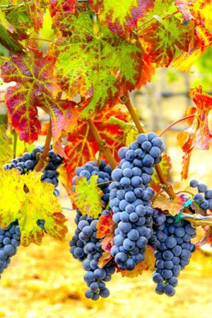 Cabernet Sauvignon Grapes Ready for Harvest, Washington, USA by Richard Duval