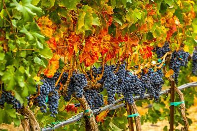 Cabernet Sauvignon Grapes Ready for Harvest, Washington, USA