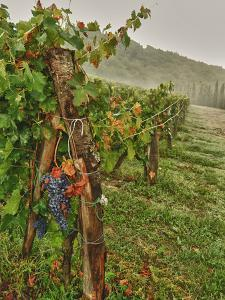 Chianti Grapes Ready for Harvest, Greve, Tuscany, Italy by Richard Duval